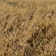 Stock Video: Closeup oat field autumn
