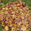 Cat leaves pile fall — Wideo stockowe