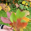Stock Video: Hand take autumn leaves