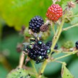 Closeup blackberry berries fly drink eat juice — Stock Photo