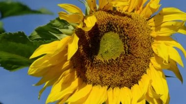 Sunflower head blue sky — Vídeo Stock