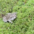 Stock Video: Garlic spadefoot toad