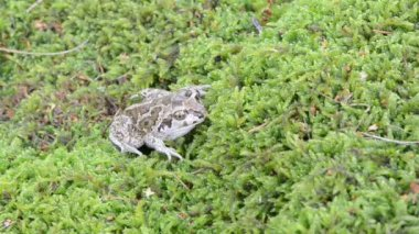 Garlic spadefoot toad — Stock Video