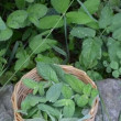 Stock Video: Mint plant woven dish