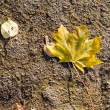 Colorful autumn maple linden tree leaves lie grunge asphalt road — Stock Photo
