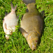 Stock Photo: Lake fishes tench orange eye bream green grass