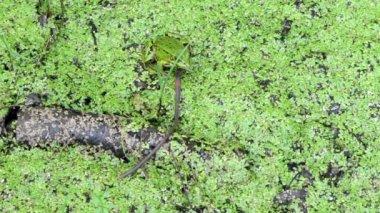 Rana worm cattura verme preda — Video Stock