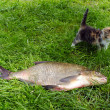 Stock Photo: Huge bream lake fish catch little tabby kitten