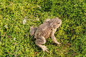 Toad amphibia sit moss — Stock Photo