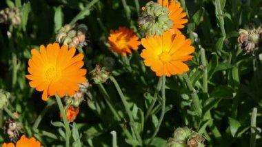Marigold calendula bloom — Stock Video