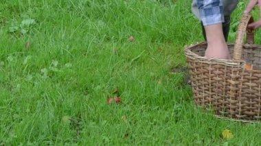 Hand take orange red cap mushrooms wicker basket grass — Stock Video