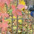 Stock Video: Blur girl gather autumn maple leaves retro rusty garden fence
