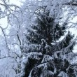 Tall fir spruce tree branch park cover snow winter top bottom — Stock Video