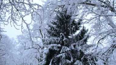 Tall fir spruce tree branch park cover snow winter top bottom — Video Stock