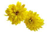 Autumn dew water drops dahlia flower bloom yellow — Stock Photo