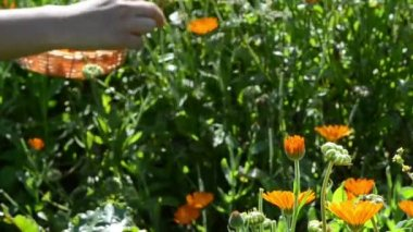 Blur hand gather marigold calendula herb bloom wooden wicker — Stok video