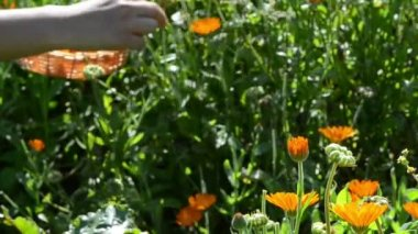Blur hand gather marigold calendula herb bloom wooden wicker — Video Stock