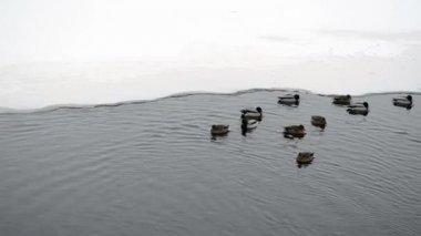 部分的に凍った川湖水アヒルの鳥泳ぐ氷寒い冬 — ストックビデオ