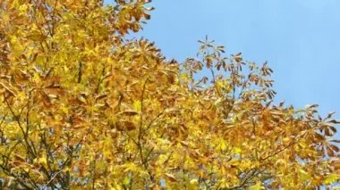 Autumn conker tree branch yellow leaves move wind blue sky — Stock Video