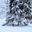 Panoramic view tall fir tree park covered dense snow winter — Stock Video #21509393