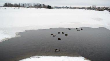 Partly frozen lake water ducks birds swim ice cold winter — Stock Video