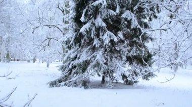 Panoramiczny widok wysoki jodła drzewa parku pokryte gęstym śniegu zimą — Wideo stockowe
