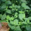Closeup hands gather pick mint leaf. alternative medicine herbs — Stok Video #21672703