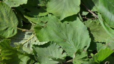 Closeup manos reúnen pick hoja de menta. hierbas medicina alternativa — Vídeo de stock