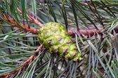 Closeup new green cone grow pine tree branch — Stock Photo