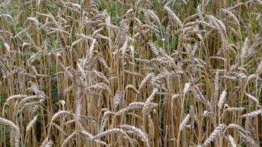 Ripe wheat ears move wind autumn season agricultural plant — Stock Video