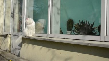 Bianco vecchio gatto sit volo di farfalla davanzale conservatorio — Video Stock