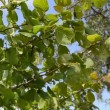 Stock Video: Mhand pick gather ripe hazel nutwood nuts nut-tree branch