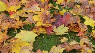 Zbliżenie kolorowy jesień klon drzewo prowizji czerwony Grabie — Wideo stockowe