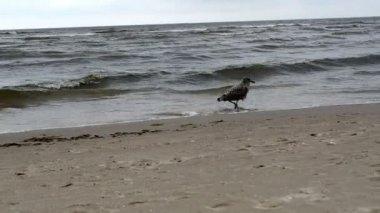 Seagull gull bird baby walk coastal sea sand and waves — Stock Video