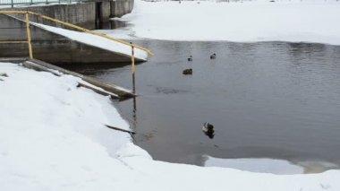 Ducks birds swimming retro river dam winter snow cold water — Stock Video