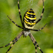 Stock Photo: Closeup wasp spider argiope bruennichi spiderweb