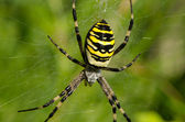 Closeup guêpe araignée argiope frelon spiderweb — Photo