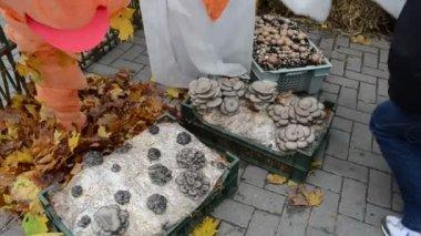 Ecological natural edible eatable mushroom shown rural fair — Stock Video
