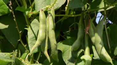 Closeup of green bean pods leaves move in wind — Stock Video