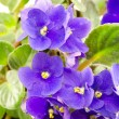 Stock Photo: Bright purple flowers blooming Saintpaulia