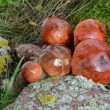 Vídeo Stock: Macro hand pick gather stacked orange red cap mushrooms