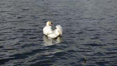 Swan bird lake water — Stock Video