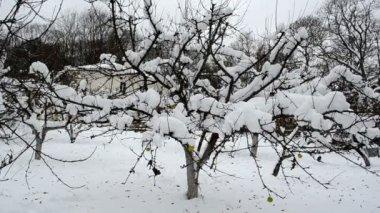 Jardín de invierno manzanas frutas de rama de árbol cubren de caída de nieve — Vídeo de stock