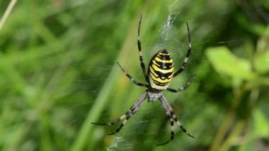 Blur wasp spider spiderweb web meadow grass — Stock Video