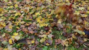 Woman rake colorful autumn maple tree leaf — Stock Video