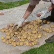 Stock Video: Old womhands pick gather harvest natural potatos cook
