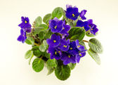 African violet flower and green leaves in pot — Stock Photo
