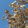 Golden oak branch dry leaves move wind background blue sky — Stock Video