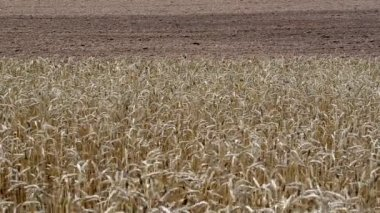 Ripe wheat plowed field — Stok video