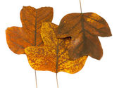 Three autumn tuliptree leaves next to each other — Stock Photo